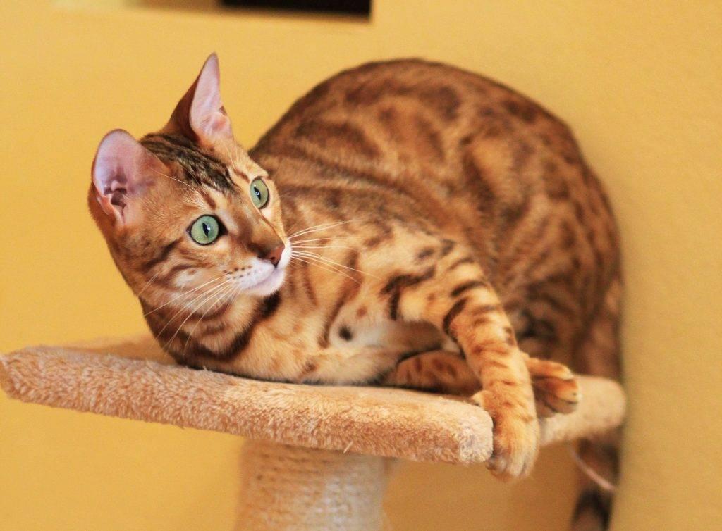 Бенгальская кошка: описание породы, характер, 40 фото, цена котенка