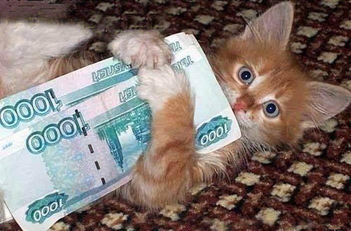 Сколько стоят кошки породы шотландская вислоухая