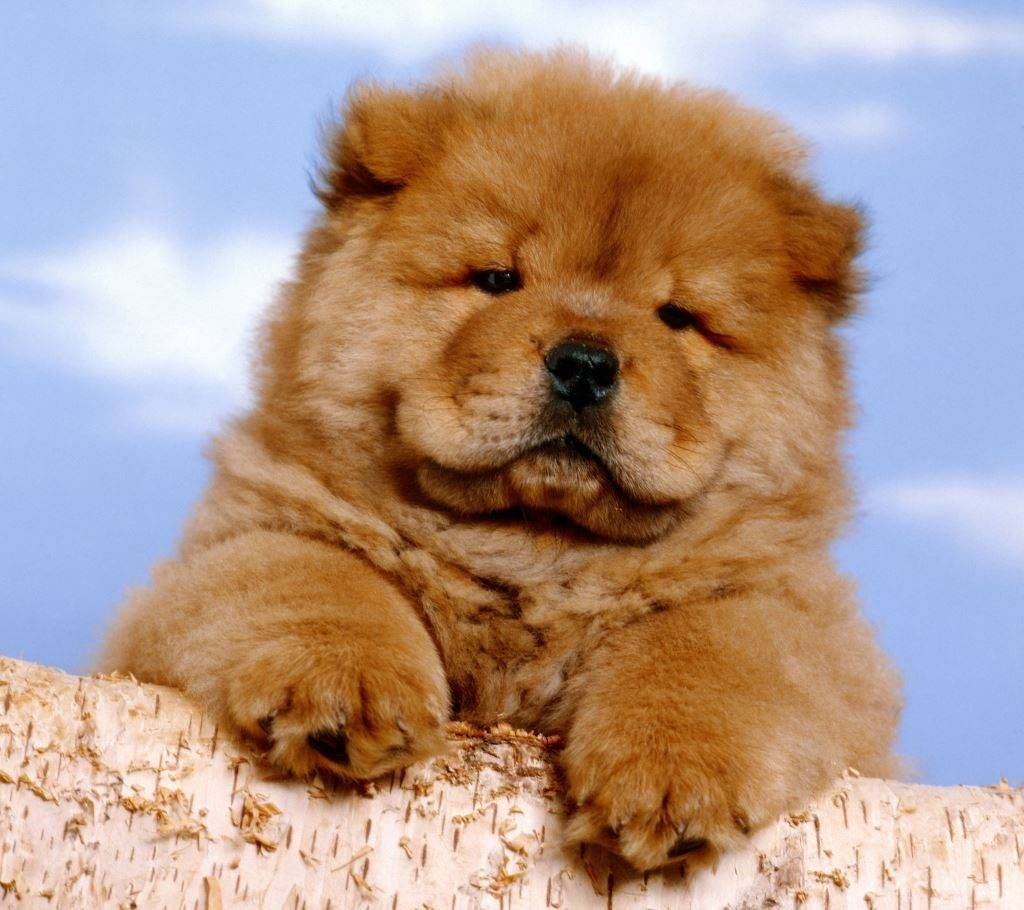 Порода собак как медвежонок