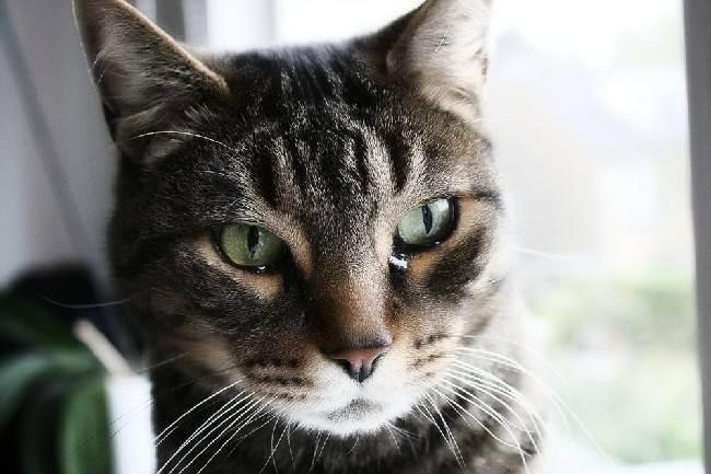 У британской кошки слезятся глаза