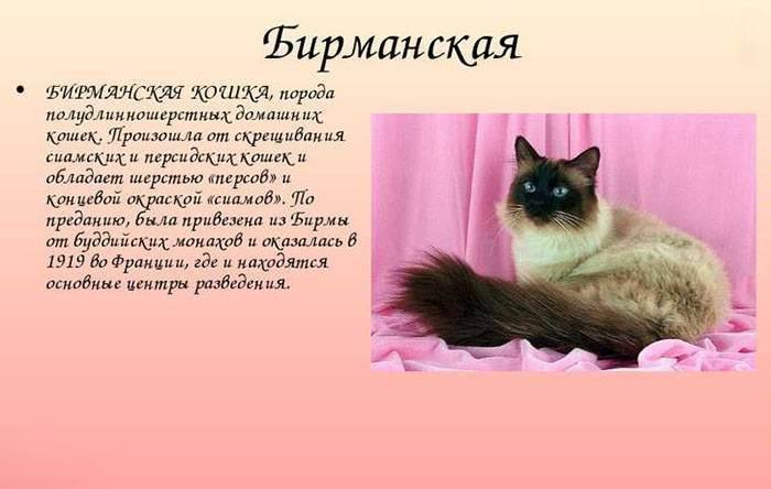 Содержание и воспитание бирманской кошки