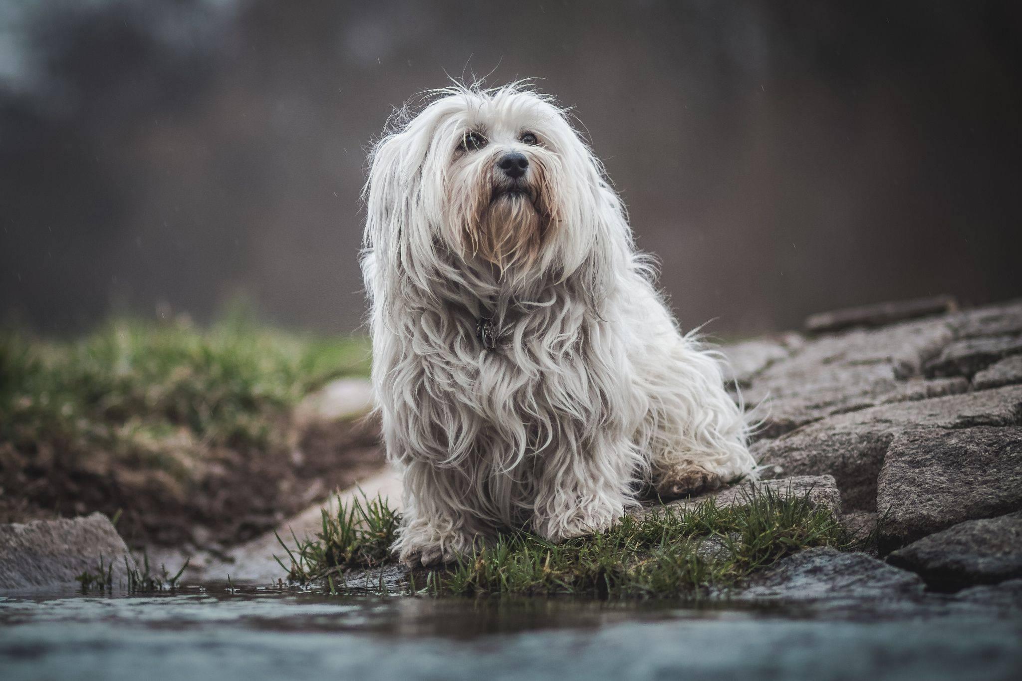 Гаванский бишон: описание породы - моя собака