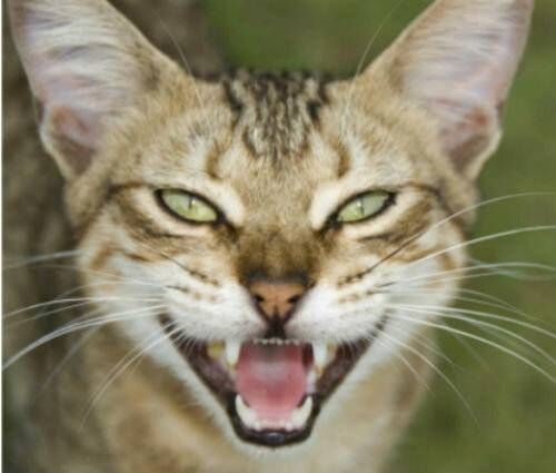 Болезни британских кошек: обзор