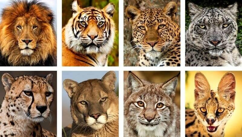 Псовые млекопитающие - семейство хищников, виды и представители | список с фото