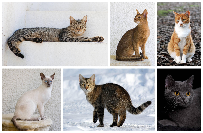 Описание охоса азулеса: фото кошки, отличительные особенности породы, содержание и уход