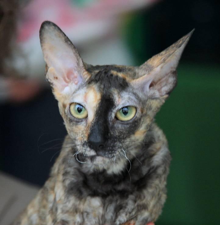 Немецкий рекс (прусский рекс) — описание породы кошек