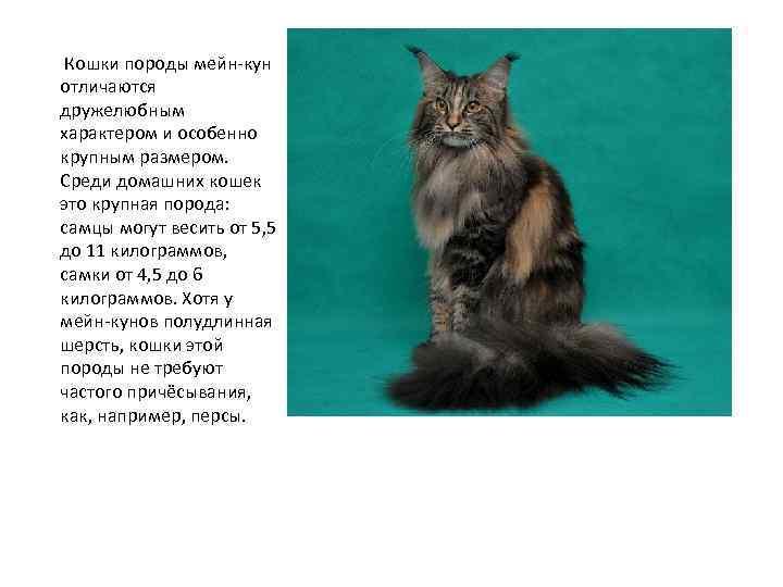Особенности характера породы мейн кун у кошек и котов