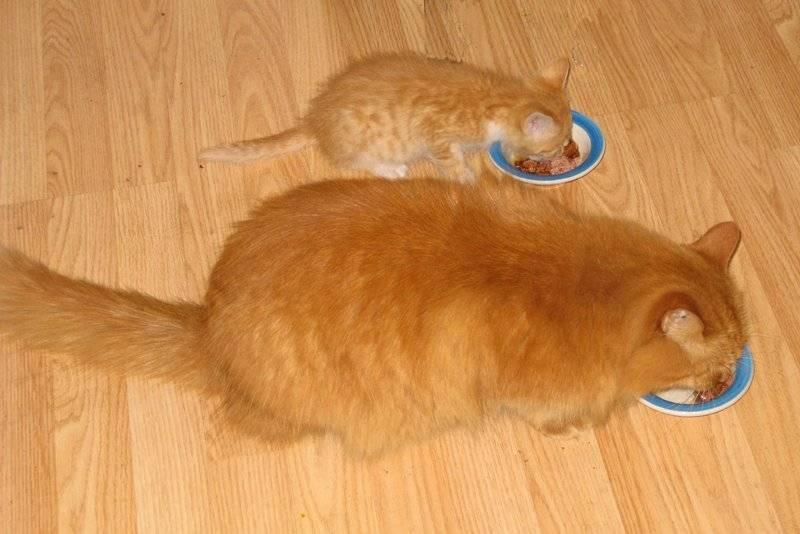 Будет ли кот после кастрации ловить мышей?