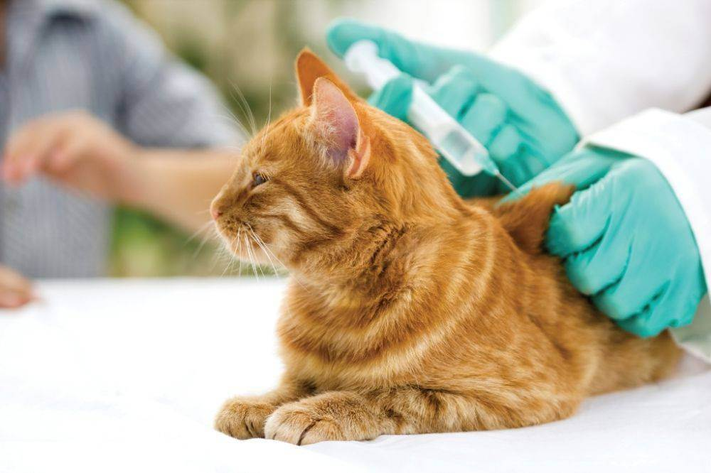 Перед вакцинацией кошки необходимо провести