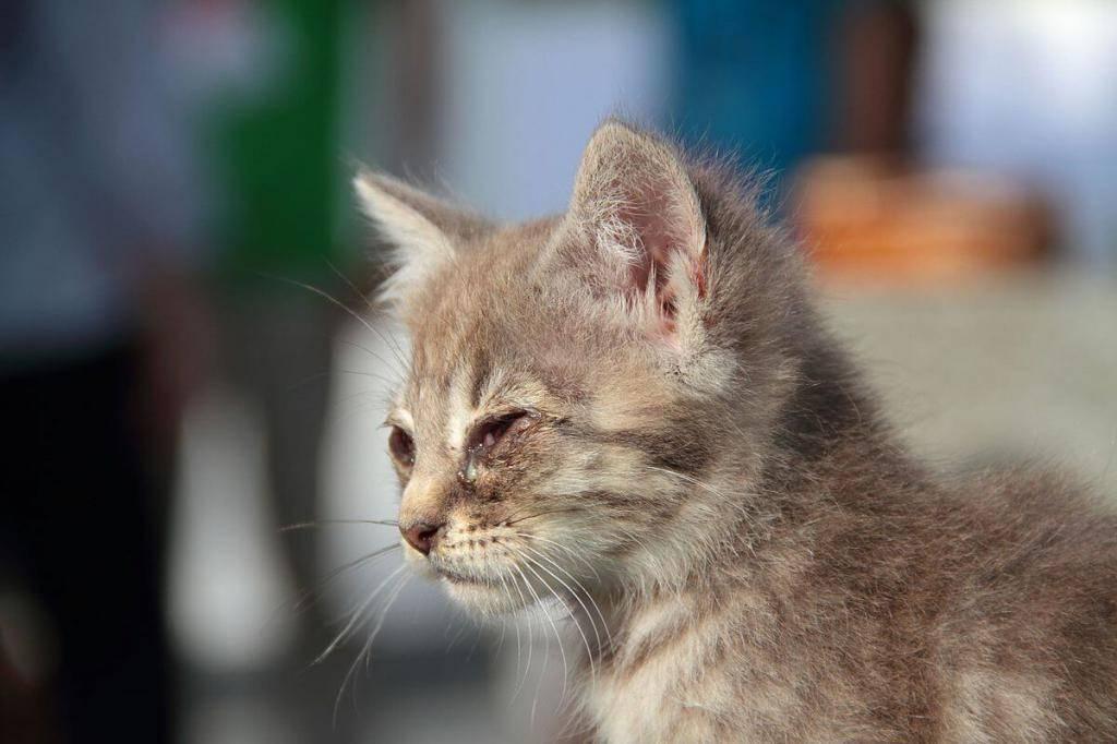 Хламидиоз у кошек: симптомы и лечение