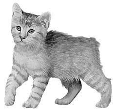Описание кошки домашней по критериям вида. выполнение практической работы