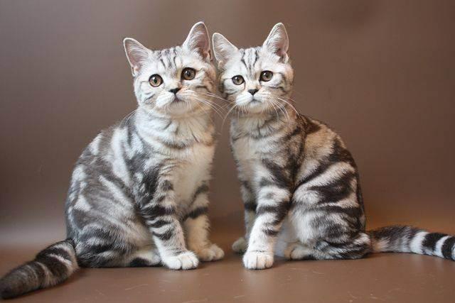 Распространенные имена для сиамских кошек девочек