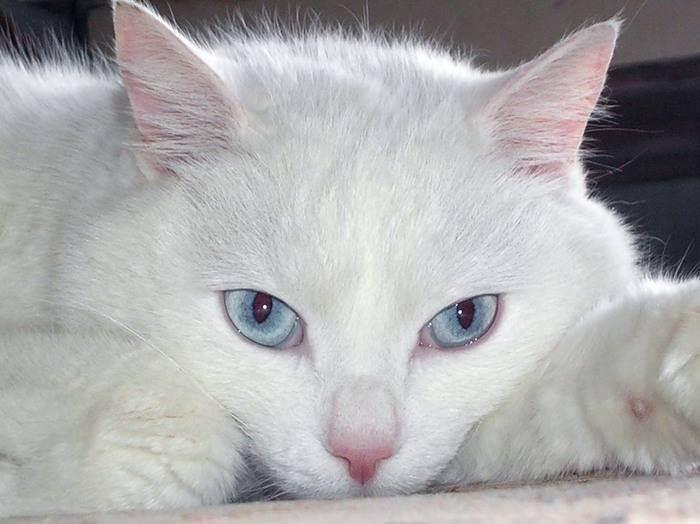 Уход за глухой кошкой