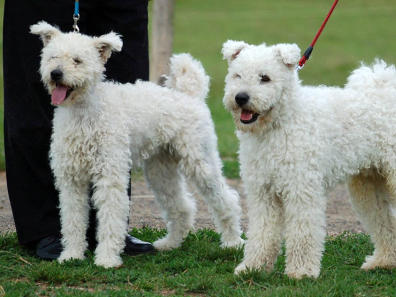 Басенджи собака. описание, особенности, уход и цена породы басенджи | sobakagav.ru