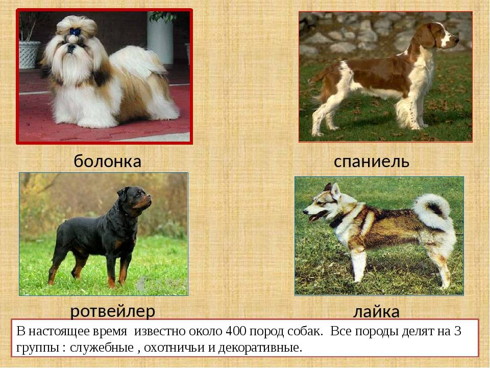 Русская цветная болонка — описание породы, характеристика, уход, фото