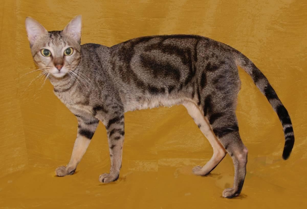 Сококе: описание породы кошек, характер, отзывы (с фото и видео)