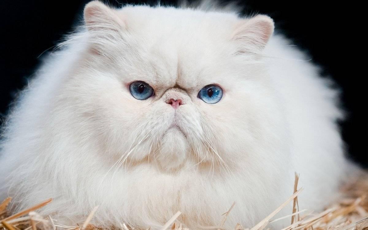 Все кошки с приплюснутой мордой. породы кошек с приплюснутой мордой