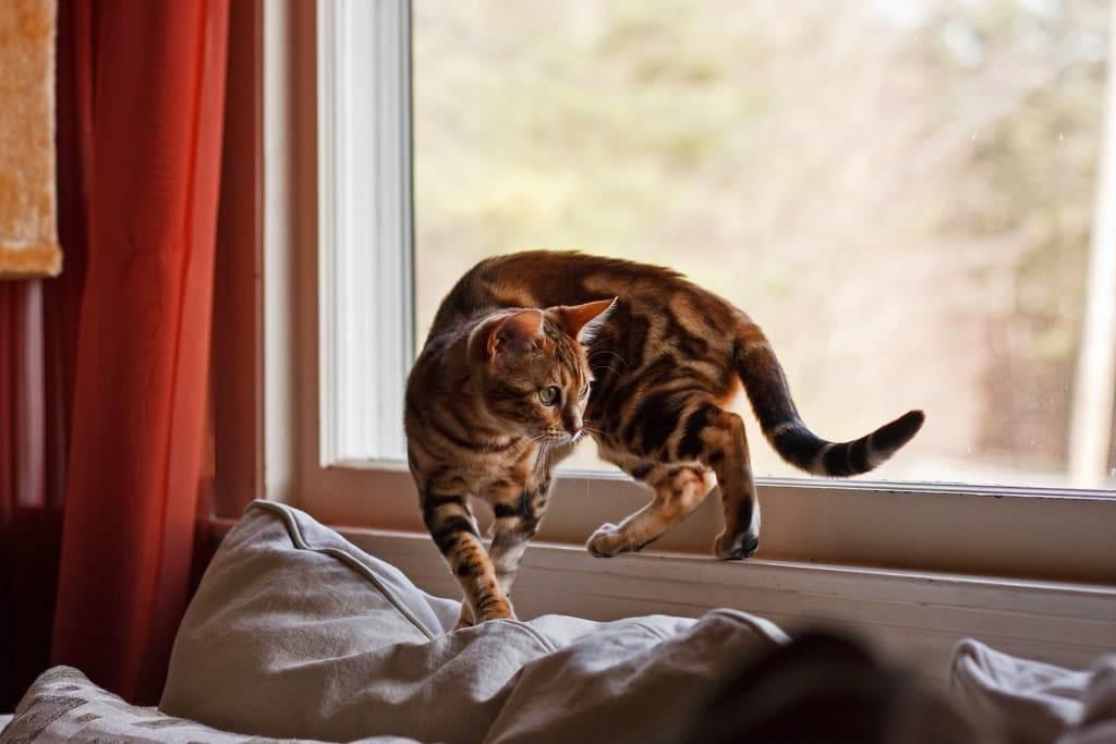 Нужно ли выгуливать домашнюю кошку на улице