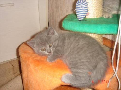 Новорожденные вислоухие котята - развитие котят по неделям