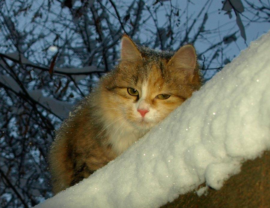Мерзнут ли кошки зимой на улице мерзнут ли кошки зимой на улице