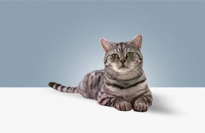 Какая порода кошек из рекламы вискас (whiskas)?