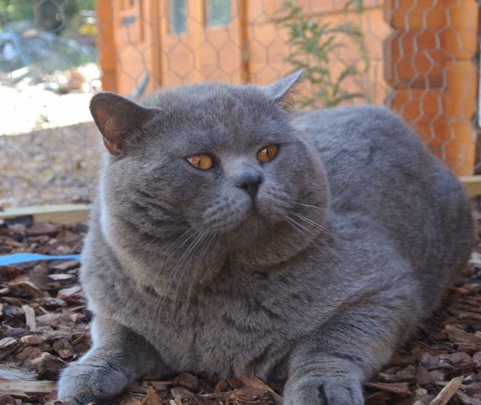 Британская кошка: описание породы