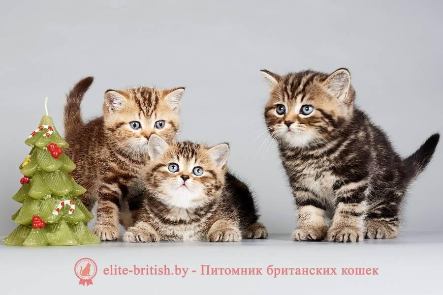 Беременность британской кошки