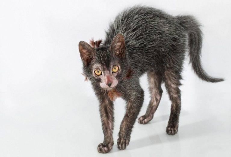 Ликой: описание породы, особенности характера и ухода, фото и цена, отзывы владельцев, выбор котенка