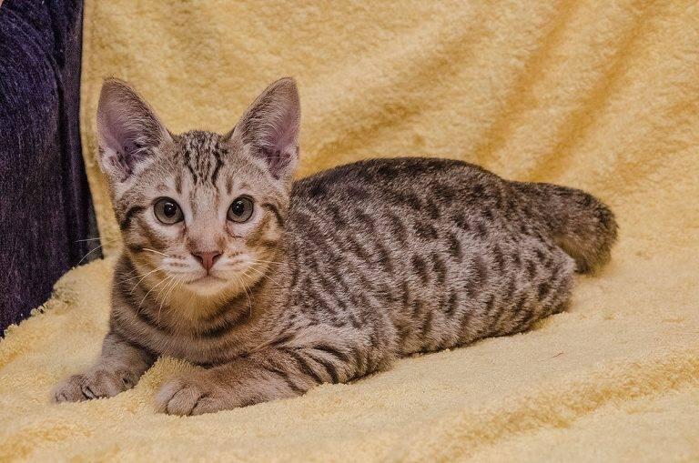 Кошка породы оцикет: характерные особенности, фото, где купить