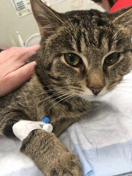 Лейкоз у кошек (вирусная лейкемия)
