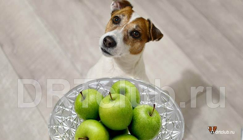 Можно ли давать собаке яблоки