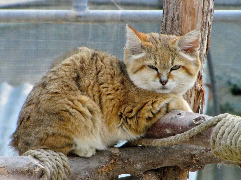 Барханный кот. образ жизни и среда обитания барханного кота | животный мир