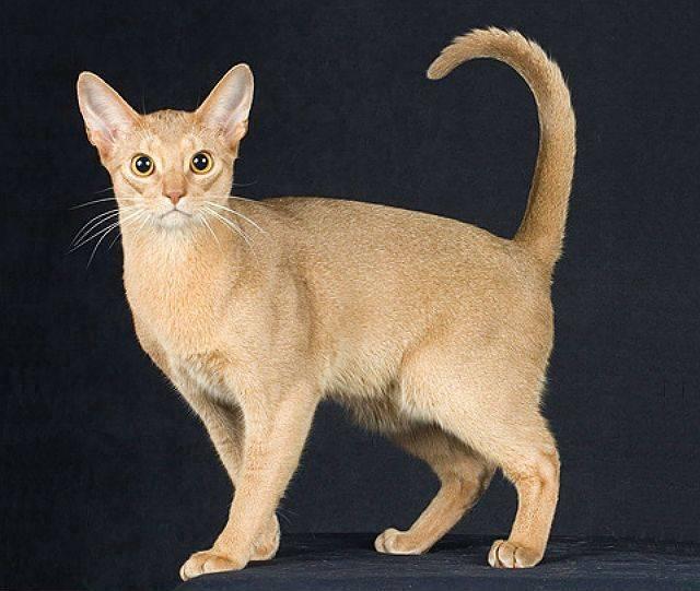 Самые гипоаллергенные породы кошек: фото, названия