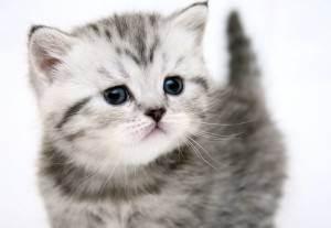Как правильно выбрать британского котенка
