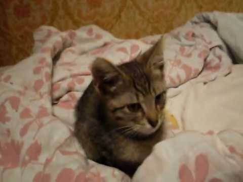 Котенок в доме первые дни — адаптация котенка