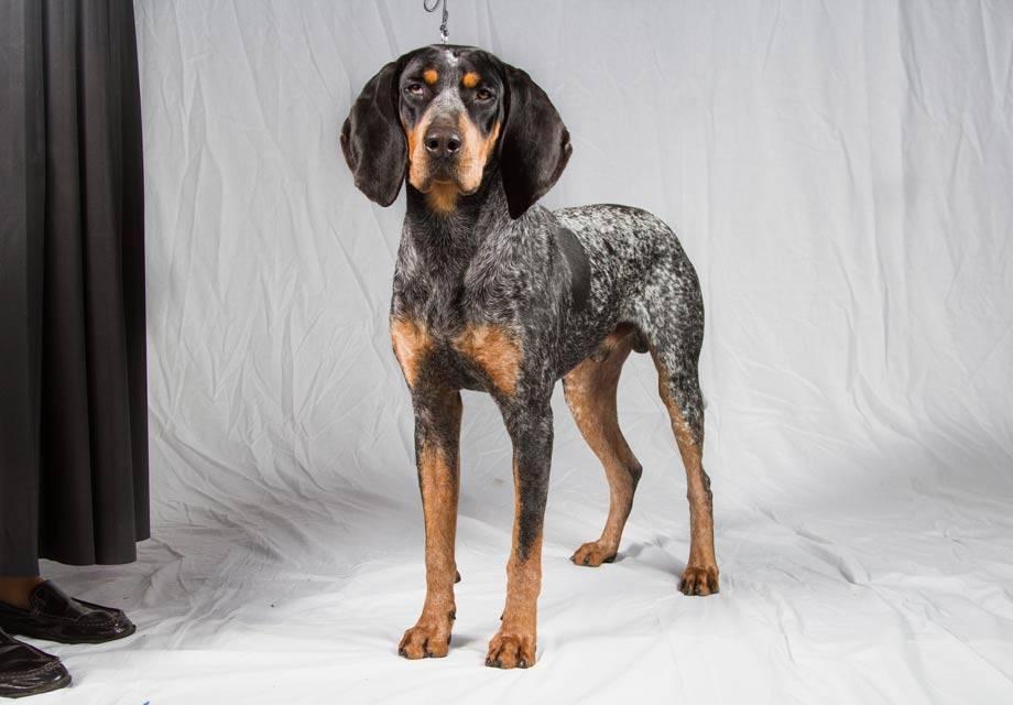 Легавые — фото, виды пород собак, описание разновидностей