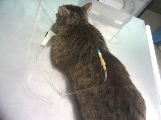 4 факта о кошачьей пневмонии: что вам нужно знать!