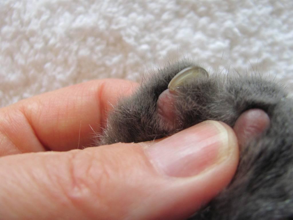 Болезни когтей у кошек: врастание когтя, обламывание, воспаление, грибковые инфекции, симптомы и лечение