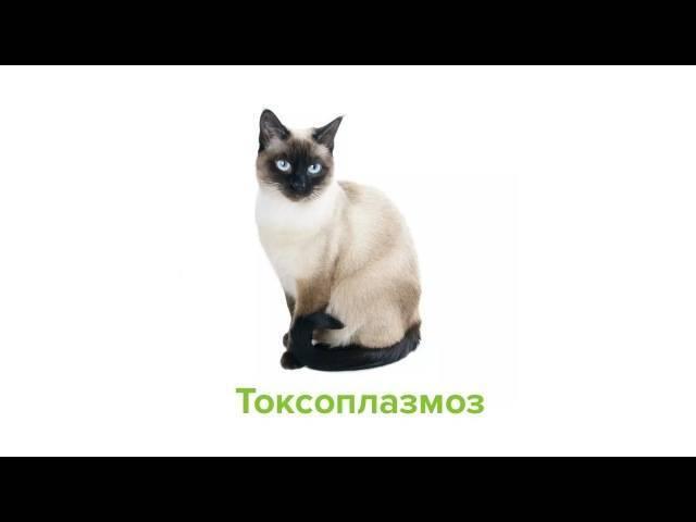 Сколько длится течка у кошек? ранняя течка
