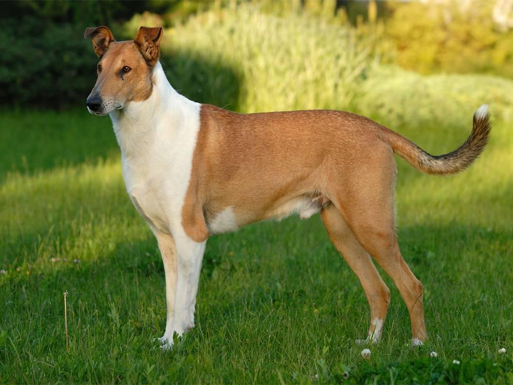 Лучшие породы собак для квартиры средних размеров