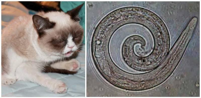 Как лечить круглые гельминты у кошек