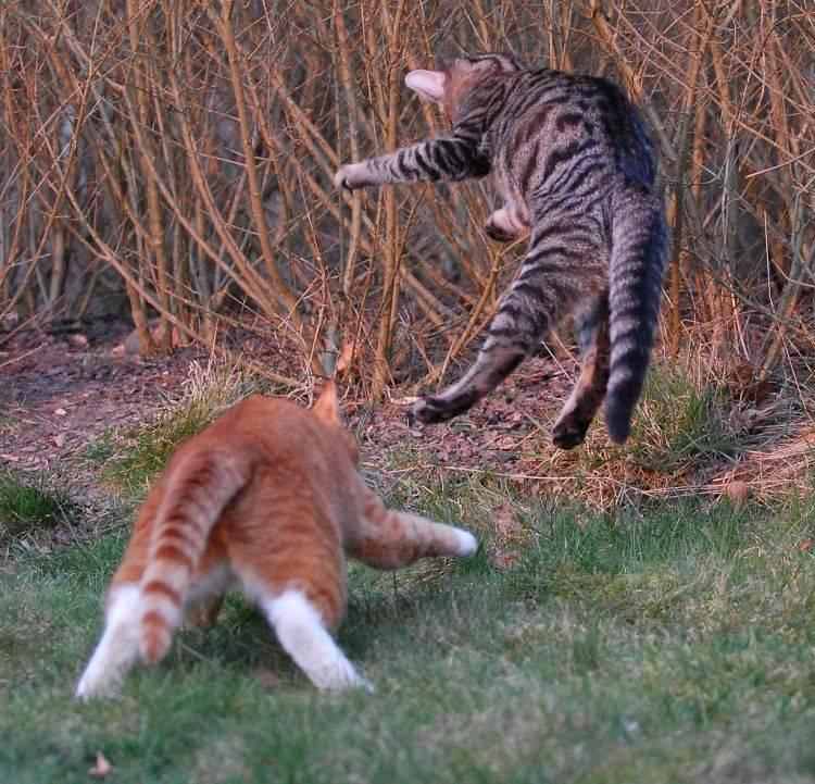 Почему кошки дерутся: причины и что делать почему кошки дерутся: причины и что делать