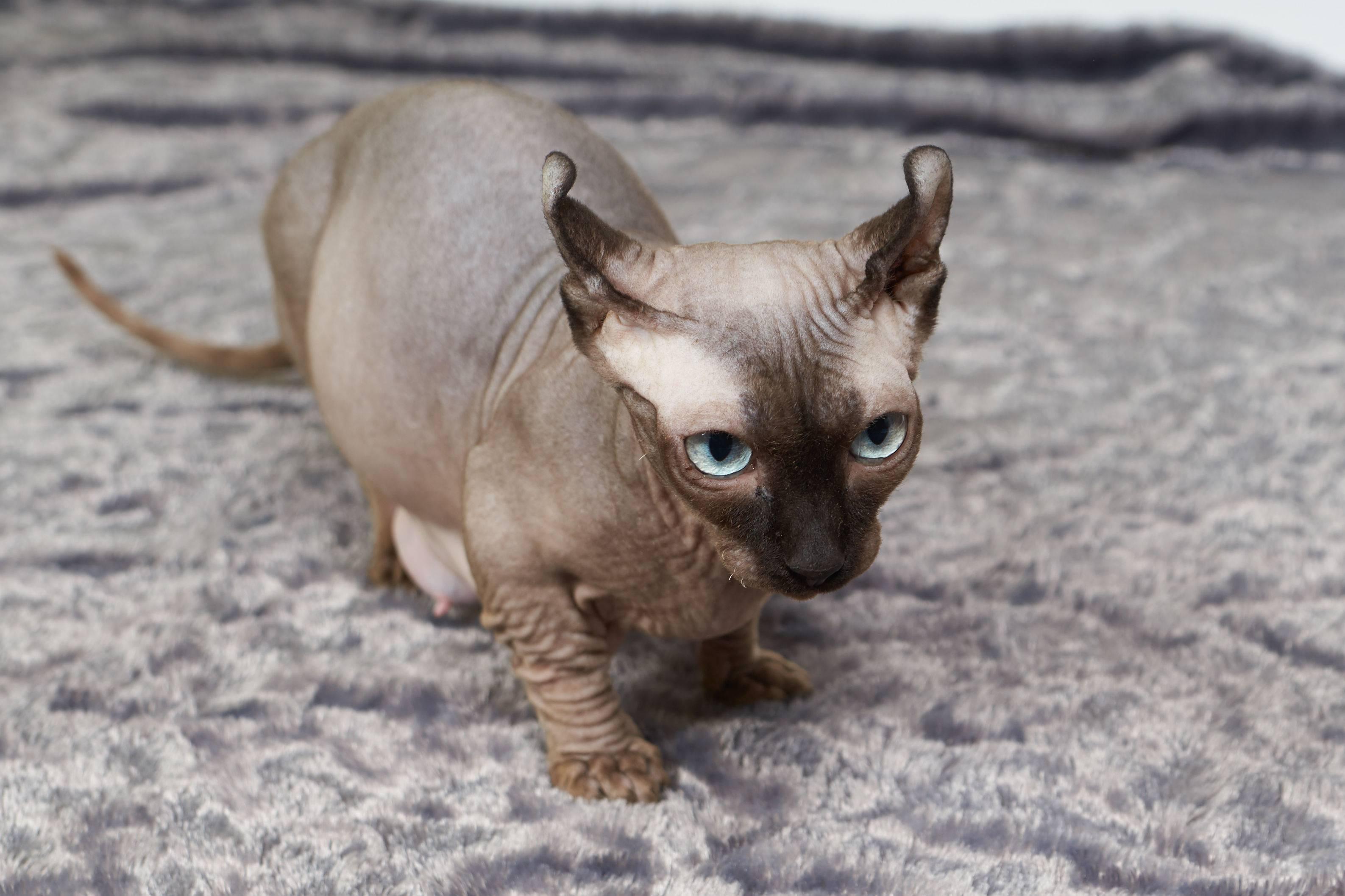 Кошка эльф: описание внешности и характера, уход за питомцем и его содержание, выбор котёнка, отзывы владельцев, фото кота