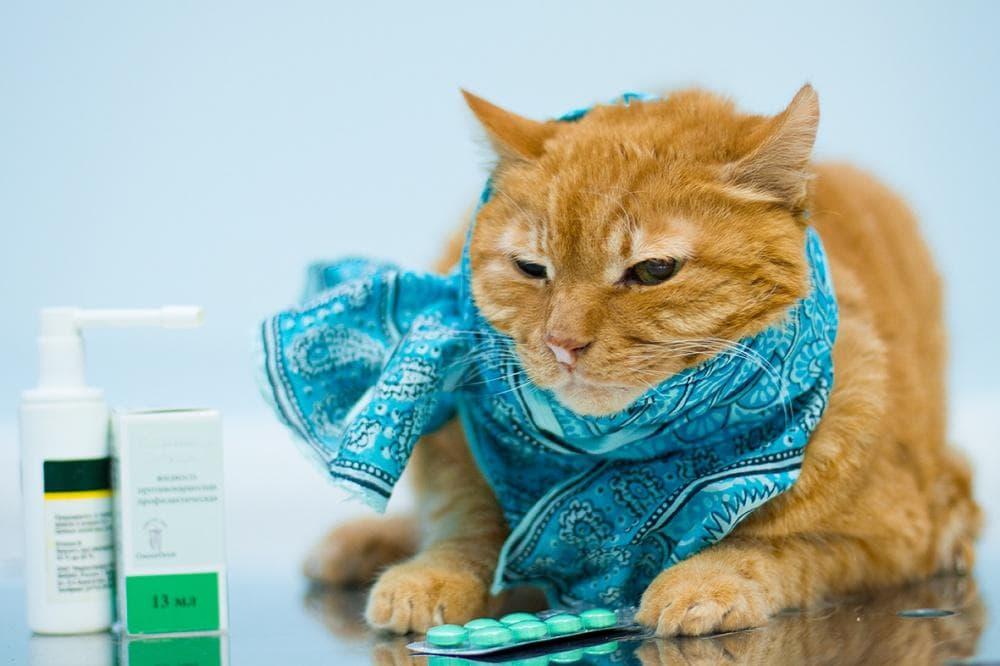 Особенности лечения простуды у кота