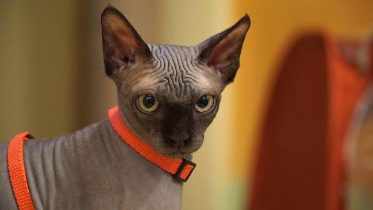 Рейтинг топ 10 самых умных пород кошек