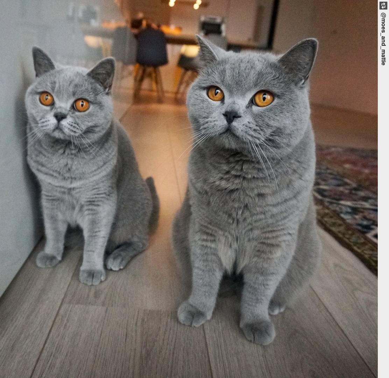 Топ-30 самых ласковых пород кошек