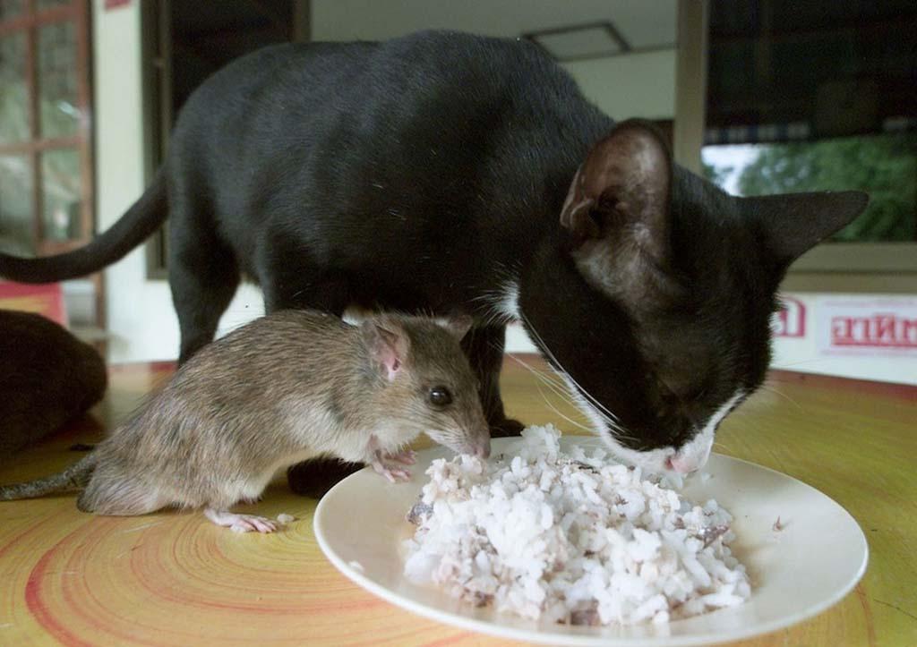 Кошка ест мышей: чем это опасно кошка ест мышей: чем это опасно
