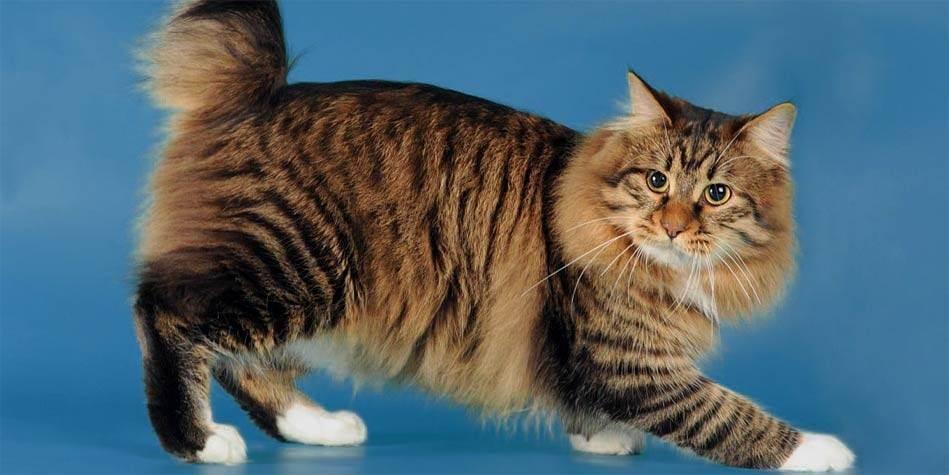 Порода кошек кимрик – чем примечателен кот, которого англичане называют кроликом.