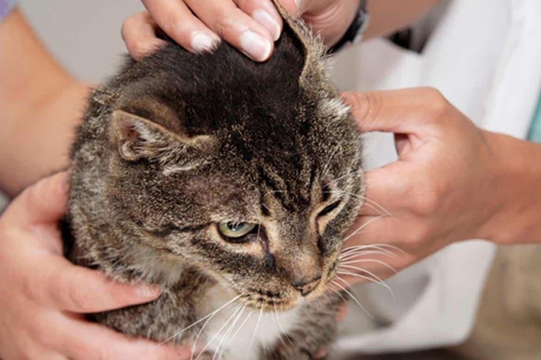 У кота болят уши чем лечить в домашних видео