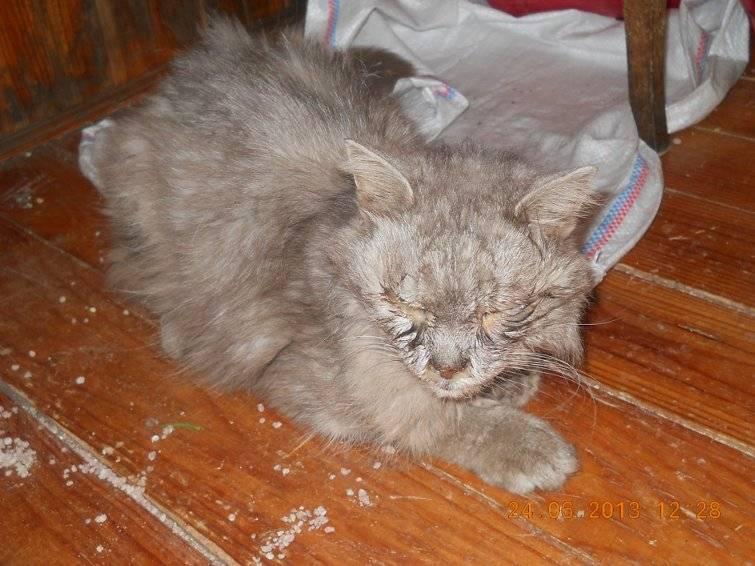 У котят гноятся глаза: что делать с глазами, как лечить, необходимые препараты и рекомендации ветеринаров